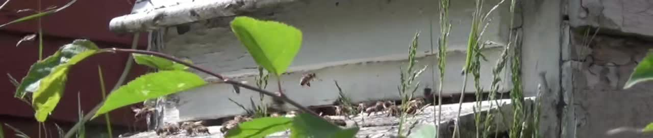 Bees flying in and out of hive